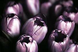 33% Akciós Tulipán Vászonkép