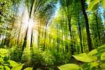 Napfényes lombos fák az erdőben (id: 11500) falikép keretezve