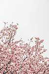 Virágzó fa, Taiwan (id: 17200)