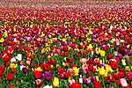 Tulipán mező (id: 3500) tapéta