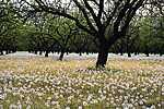 Pitypangmező a fák között (id: 1801) falikép keretezve