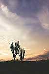 Kaktuszok a naplementében (id: 17404) poszter