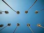 Kaliforniai pálmafák (id: 16905)