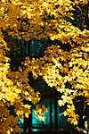Az ősz-sárga (id: 17905)