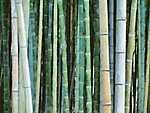 Bambuszok (id: 3707) vászonkép