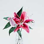 Pink liliom (id: 17113)
