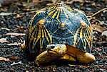 Partner Kollekció: Ausztrál teknős (id: 17918) vászonkép