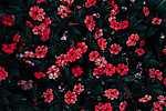 Piros északi virágok (id: 17119) poszter
