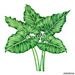 Watercolor painting big green leaves,palm leaf isolated on white (id: 14721) vászonkép