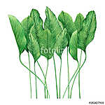 Watercolor painting tropical green leaves,palm leaf isolated on  (id: 14722) tapéta