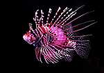 Oroszlán-hal (id: 17922) tapéta