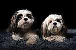 Shih Tzu kutyusok (id: 17723) tapéta