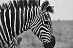 Zebra profil (id: 17827) poszter