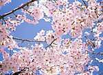 Virágzó cseresznyefa (id: 827)