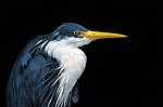 Pied heron - Ausztrál madár (id: 17928)