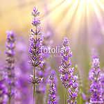 Lavender (id: 13629)