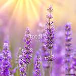 Lavender (id: 13630) falikép keretezve