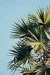 Mediterrán pálma (id: 18431) poszter