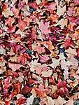 Lombtakaró, őszi falevelek (id: 14332)