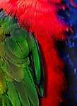 Papagáj tollak (id: 17935)