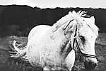 Fehér ló (id: 19238) poszter