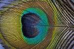 páva toll makró fotó (id: 6338)