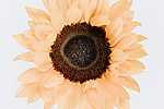 Napraforgóvirág (id: 17840) többrészes vászonkép
