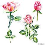 Rose flower, petals, bud watercolor hand drawn botanical illustr (id: 14741) falikép keretezve