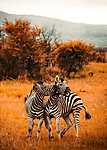 Pilansberg rezervátum, Zebrák, Dél-Afrika (id: 17142) tapéta