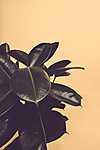 Partner Kollekció: Filodendron (id: 17242) poszter
