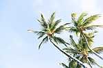 Kaliforniai pálmafák  (id: 17244)