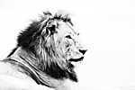 Fenséges oroszlán (id: 17349) vászonkép