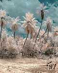 Fehér pálmafák, India (id: 19249) falikép keretezve