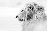 Szépséges oroszlán  (id: 17350) bögre