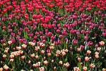 Színpompás tulipánmező (id: 1751)