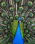 Partner Kollekció: A páva színei (id: 17853) vászonkép óra