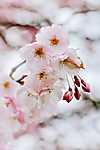 Partner Kollekció: Cseresznyefa-virágzás (id: 18556) tapéta