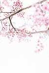Japán tavasz (id: 18558) vászonkép óra