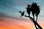 Kolibri-sziluett (id: 17459) vászonkép