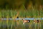 Kékszárnyú récék (id: 14360) tapéta