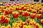Tulipánmező (id: 3760) vászonkép óra