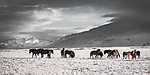 Izlandi vadlovak (id: 19563)