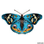 butterfly with open wings top view of symmetry, sketch the graph (id: 13864) vászonkép