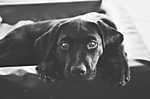 Hűség és önzetlen szeretet - Fekete labrador (id: 16764) falikép keretezve