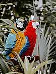 LEGO papagájok (id: 17864) falikép keretezve