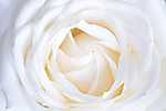 Fehér rózsa (id: 18564) többrészes vászonkép