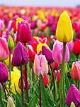 Tulipán fesztivál Woodburnben (id: 3764) falikép keretezve