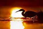 Kócsag a vízben, naplementében (id: 14365)