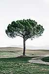 Lombos fa Toszkánában (id: 17565)