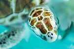 Barna tengeri teknős, Mexico (id: 17865) poszter